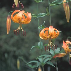 Inflorescences: Lilium superbum. ~ By Dorothy Long. ~ Copyright © 2021 New England Wild Flower Society. ~ Image Request, images[at]newenglandwild.org