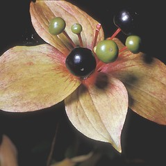 Fruits: Medeola virginiana. ~ By Frank Bramley. ~ Copyright © 2021 New England Wild Flower Society. ~ Image Request, images[at]newenglandwild.org