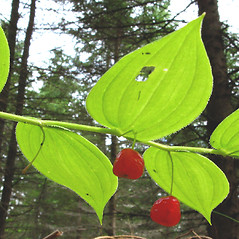 Fruits: Streptopus lanceolatus. ~ By Donna Kausen. ~ Copyright © 2021 Donna Kausen. ~ 33 Bears Den, Addison, ME 04606