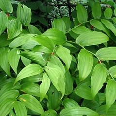 Leaves: Streptopus lanceolatus. ~ By Donna Kausen. ~ Copyright © 2020 Donna Kausen. ~ 33 Bears Den, Addison, ME 04606