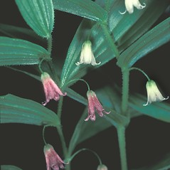 Inflorescences: Streptopus lanceolatus. ~ By David Stone. ~ Copyright © 2021 New England Wild Flower Society. ~ Image Request, images[at]newenglandwild.org