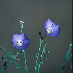 Flowers: Linum perenne. ~ By John Lynch. ~ Copyright © 2020 New England Wild Flower Society. ~ Image Request, images[at]newenglandwild.org
