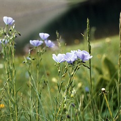 Plant form: Linum perenne. ~ By Joy Viola. ~ Copyright © 2020 CC BY-NC 3.0. ~  ~ Bugwood - www.bugwood.org/