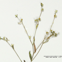 Fruits: Linum striatum. ~ By Derick B. Poindexter. ~ Copyright © 2019 Derick B. Poindexter. ~ dpoindex[at]live.unc.edu ~ Vascular Flora of Alleghany County, NC - vascularflora.appstate.edu/