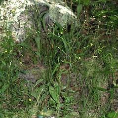 Plant form: Linum virginianum. ~ By Keir Morse. ~ Copyright © 2021 Keir Morse. ~ www.keiriosity.com ~ www.keiriosity.com