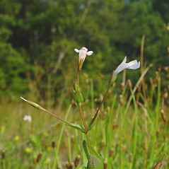 Plant form: Lindernia dubia. ~ By Arthur Haines. ~ Copyright © 2020. ~ arthurhaines[at]wildblue.net