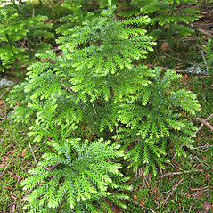 Plant form: Dendrolycopodium dendroideum. ~ By Donna Kausen. ~ Copyright © 2020 Donna Kausen. ~ 33 Bears Den, Addison, ME 04606