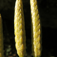Spore cones: Dendrolycopodium dendroideum. ~ By Marilee Lovit. ~ Copyright © 2021 Marilee Lovit. ~ lovitm[at]gmail.com