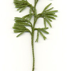 Plant form: Dendrolycopodium obscurum. ~ By Arthur Haines. ~ Copyright © 2021. ~ arthurhaines[at]wildblue.net