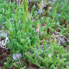 Plant form: Lycopodium clavatum. ~ By Arthur Haines. ~ Copyright © 2020. ~ arthurhaines[at]wildblue.net