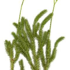 Plant form: Lycopodium clavatum. ~ By Arthur Haines. ~ Copyright © 2021 Arthur Haines. ~ arthur.d.haines[at]gmail.com
