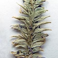 Vegetative leaves: Pseudolycopodiella caroliniana. ~ By Arthur Haines. ~ Copyright © 2021. ~ arthurhaines[at]wildblue.net
