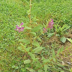 Plant form: Cuphea procumbens. ~ By Kurt Steuber. ~ Copyright © 2021 GNU Free Documentation License, Version 1.3. ~  ~ luirig.altervista.org/flora/taxa/north-america.php