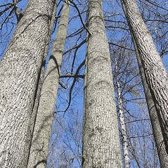 Bark: Liriodendron tulipifera. ~ By Arieh Tal. ~ Copyright © 2020 Arieh Tal. ~ http://botphoto.com/ ~ Arieh Tal - botphoto.com