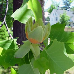 Flowers: Liriodendron tulipifera. ~ By Arthur Haines. ~ Copyright © 2020. ~ arthurhaines[at]wildblue.net