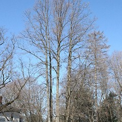 Plant form: Liriodendron tulipifera. ~ By Arieh Tal. ~ Copyright © 2020 Arieh Tal. ~ http://botphoto.com/ ~ Arieh Tal - botphoto.com