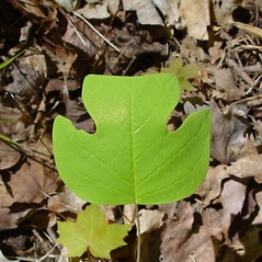Leaves: Liriodendron tulipifera. ~ By Arthur Haines. ~ Copyright © 2020. ~ arthurhaines[at]wildblue.net