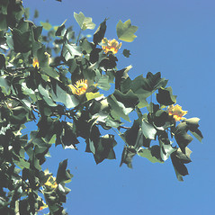 Leaves: Liriodendron tulipifera. ~ By Adelaide Pratt. ~ Copyright © 2020 New England Wild Flower Society. ~ Image Request, images[at]newenglandwild.org