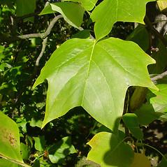 Leaves: Liriodendron tulipifera. ~ By Glen Mittelhauser. ~ Copyright © 2021 Glen Mittelhauser. ~ www.mainenaturalhistory.org