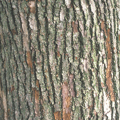 Bark: Magnolia acuminata. ~ By John Lynch. ~ Copyright © 2019 New England Wild Flower Society. ~ Image Request, images[at]newenglandwild.org