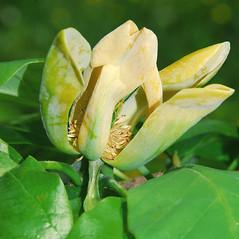 Flowers: Magnolia acuminata. ~ By William Cullina. ~ Copyright © 2021 William Cullina. ~ bill[at]williamcullina.com