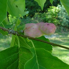 Fruits: Magnolia acuminata. ~ By Arthur Haines. ~ Copyright © 2019. ~ arthurhaines[at]wildblue.net