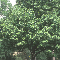 Plant form: Magnolia acuminata. ~ By John Lynch. ~ Copyright © 2019 New England Wild Flower Society. ~ Image Request, images[at]newenglandwild.org