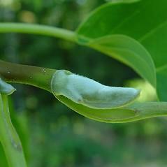 Winter buds: Magnolia acuminata. ~ By Arthur Haines. ~ Copyright © 2020. ~ arthurhaines[at]wildblue.net