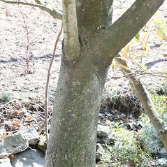 Bark: Magnolia virginiana. ~ By Arieh Tal. ~ Copyright © 2021 Arieh Tal. ~ http://botphoto.com/ ~ Arieh Tal - botphoto.com