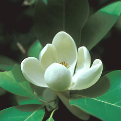 Flowers: Magnolia virginiana. ~ By John Lynch. ~ Copyright © 2021 New England Wild Flower Society. ~ Image Request, images[at]newenglandwild.org