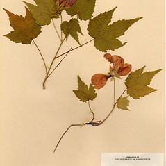 Plant form: Abutilon pictum. ~ By Arthur Haines. ~ Copyright © 2020. ~ arthurhaines[at]wildblue.net