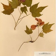 Plant form: Abutilon pictum. ~ By Arthur Haines. ~ Copyright © 2021. ~ arthurhaines[at]wildblue.net