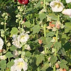Plant form: Alcea rosea. ~ By Charles Brun. ~ Copyright © 2021. ~ brunc[at]wsu.edu ~ Pacific Northwest Plants - www.pnwplants.wsu.edu/