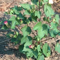 Plant form: Gossypium hirsutum. ~ By Charles Bryson. ~ Copyright © 2019 CC BY-NC 3.0. ~  ~ Bugwood - www.bugwood.org/