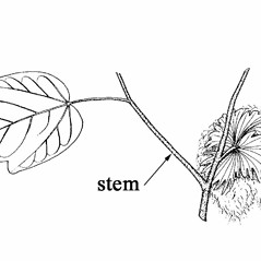 Stems: Gossypium hirsutum. ~ By Southern Illinois University Press. ~ Copyright © 2021 Southern Illinois University Press. ~ Requests for image use not currently accepted by copyright holder ~ Mohlenbrock, Robert H. 1990. The Illustrated Flora of Illinois, Flowering Plants, nightshades to mistletoe, . Southern Illinois U. Press