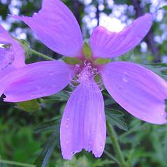 Flowers: Malva alcea. ~ By Arthur Haines. ~ Copyright © 2021. ~ arthurhaines[at]wildblue.net