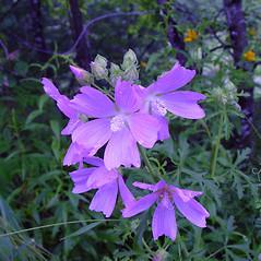 Flowers: Malva alcea. ~ By Arthur Haines. ~ Copyright © 2021 Arthur Haines. ~ arthur.d.haines[at]gmail.com