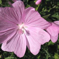 Flowers: Malva moschata. ~ By Marilee Lovit. ~ Copyright © 2021 Marilee Lovit. ~ lovitm[at]gmail.com