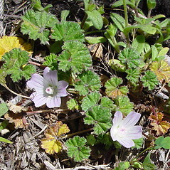 Plant form: Malva neglecta. ~ By Arthur Haines. ~ Copyright © 2021. ~ arthurhaines[at]wildblue.net