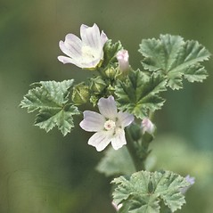 Plant form: Malva neglecta. ~ By John Lynch. ~ Copyright © 2019 New England Wild Flower Society. ~ Image Request, images[at]newenglandwild.org