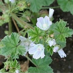 Flowers: Malva rotundifolia. ~ By Reg Newman. ~ Copyright © 2020 Reg Newman. ~ newman.reg[at]gmail.com ~ E-Flora BC - www.geog.ubc.ca/biodiversity/eflora/