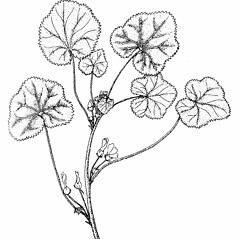 Plant form: Malva rotundifolia. ~ By Southern Illinois University Press. ~ Copyright © 2020 Southern Illinois University Press. ~ Requests for image use not currently accepted by copyright holder ~ Mohlenbrock, Robert H. 1990. The Illustrated Flora of Illinois, Flowering Plants, nightshades to mistletoe, . Southern Illinois U. Press