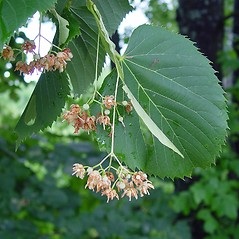 Flowers: Tilia americana. ~ By Arthur Haines. ~ Copyright © 2019. ~ arthurhaines[at]wildblue.net