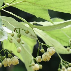 Flowers: Tilia cordata. ~ By Arieh Tal. ~ Copyright © 2020 Arieh Tal. ~ www.nttlphoto.com ~ Arieh Tal - www.nttlphoto.com