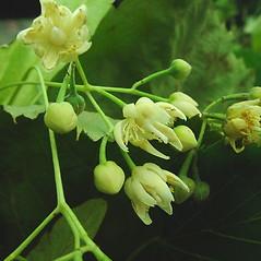 Flowers: Tilia platyphyllos. ~ By Glen Mittelhauser. ~ Copyright © 2021 Glen Mittelhauser. ~ www.mainenaturalhistory.org
