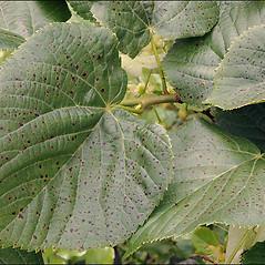 Leaves: Tilia platyphyllos. ~ By Amadej Trnkoczy. ~ Copyright © 2020 Amadej Trnkoczy. ~ amadej.trnkoczy[at]siol.net ~ CalPhotos - calphotos.berkeley.edu/flora/