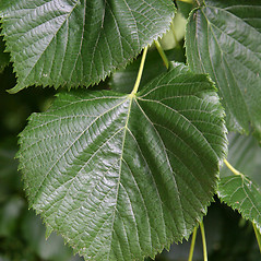Leaves: Tilia platyphyllos. ~ By Robert Vid_ki. ~ Copyright © 2021 CC BY-NC 3.0. ~  ~ Bugwood - www.bugwood.org/