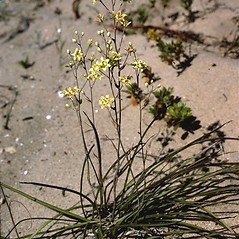 Plant form: Anticlea elegans. ~ By Larry Mellichamp. ~ Copyright © 2020 Larry Mellichamp. ~ No permission needed for non-commercial uses, with proper credit ~ U. of Michigan Herbarium - herbarium.lsa.umich.edu/