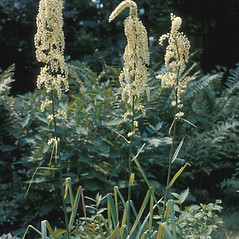 Inflorescences: Stenanthium gramineum. ~ By Lawrence Newcomb. ~ Copyright © 2020 New England Wild Flower Society. ~ Image Request, images[at]newenglandwild.org