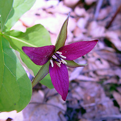 Flowers: Trillium erectum. ~ By Arthur Haines. ~ Copyright © 2021. ~ arthurhaines[at]wildblue.net